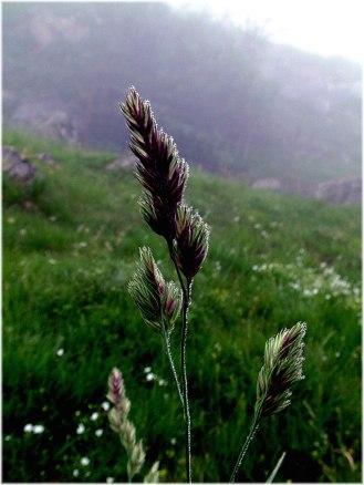 dactilis-glomerata